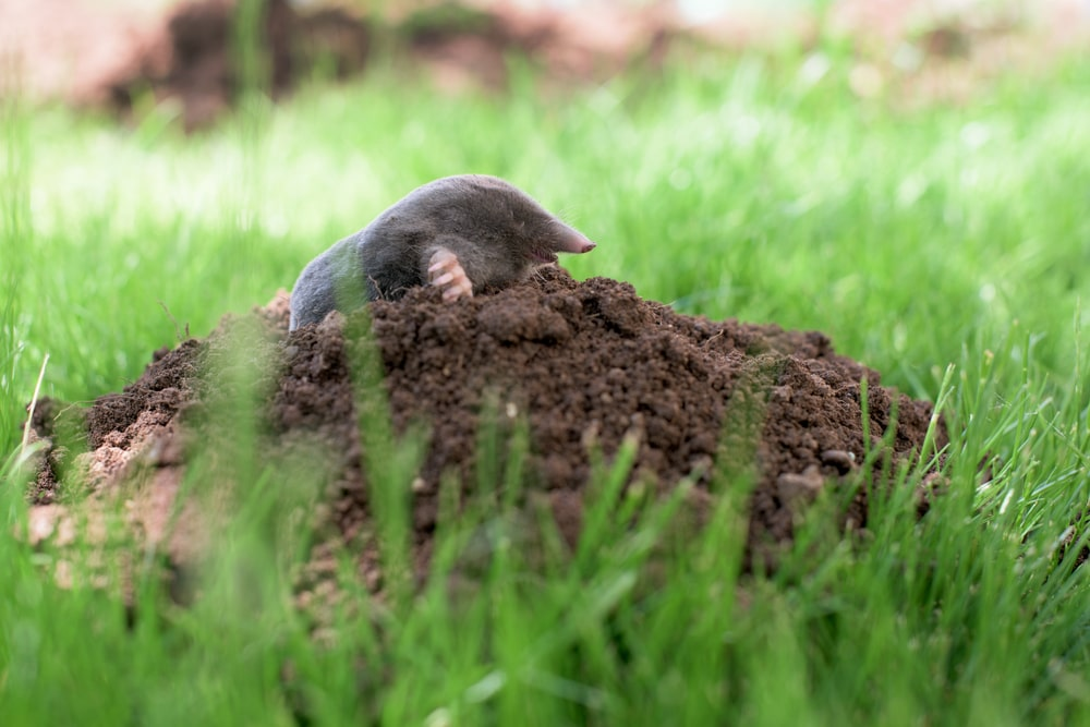Gopher vs. Mole